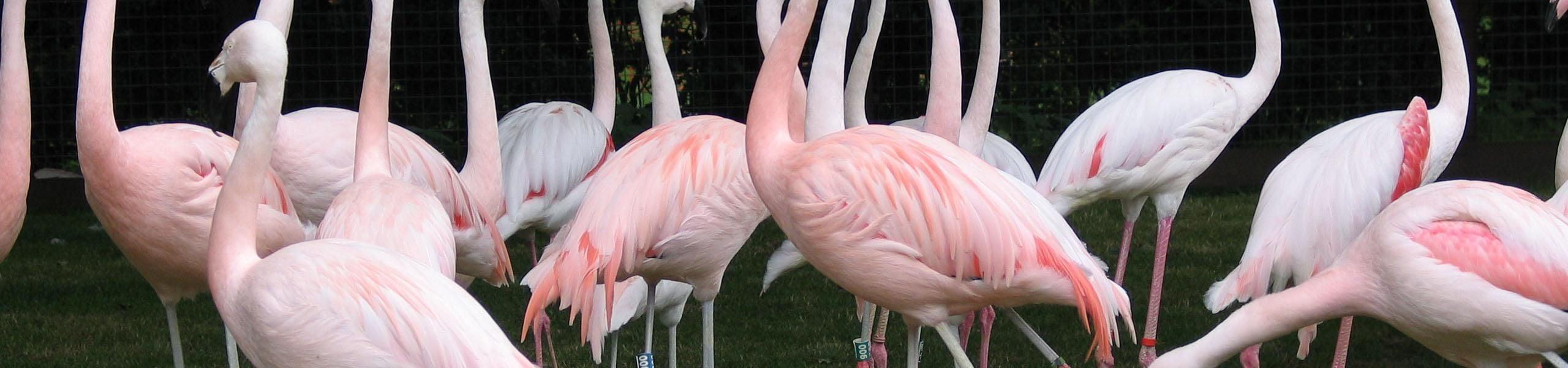 Meet Our Flamingos and Pelicans | Paultons Park