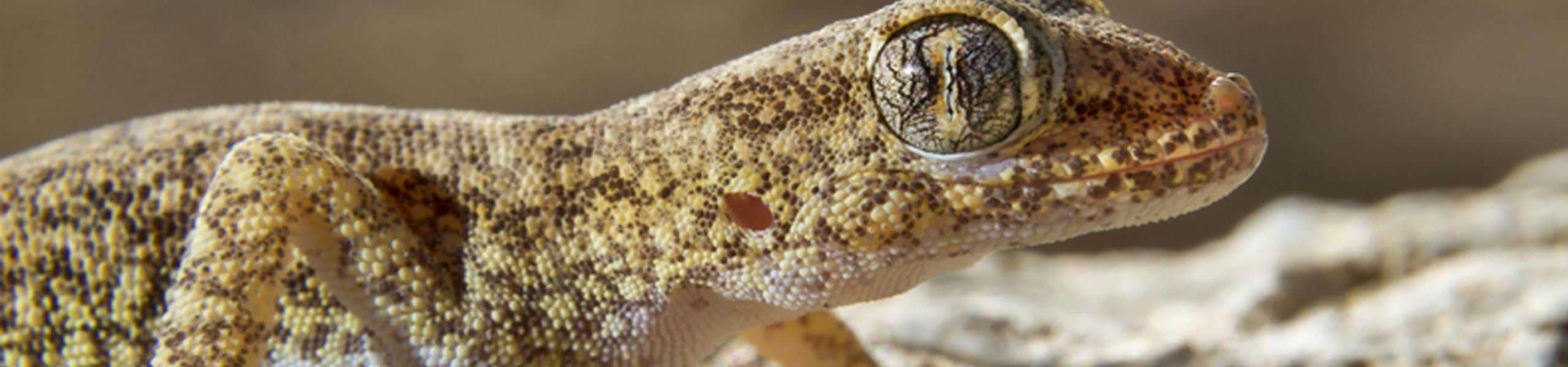 Short-fingered gecko