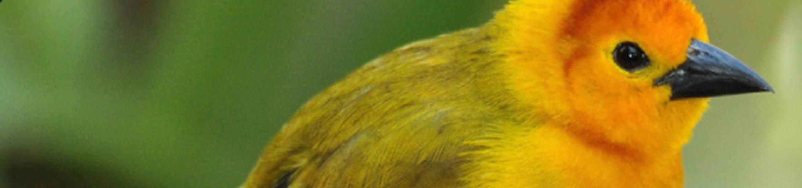 Taveta Golden Weaver