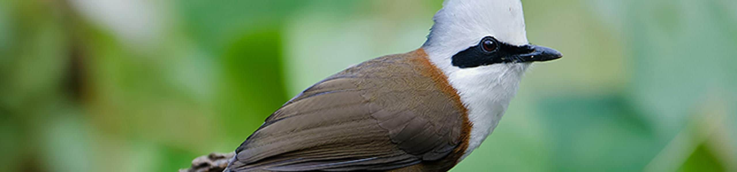 White- crested laughing thrush