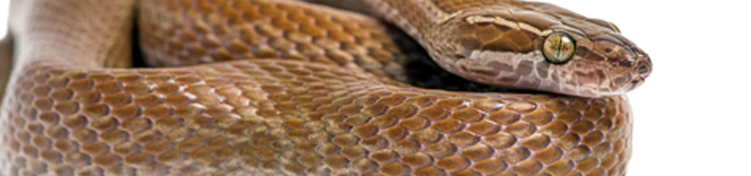 Cape House Snake