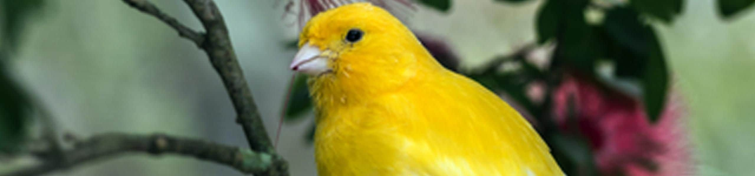 Domestic Canary